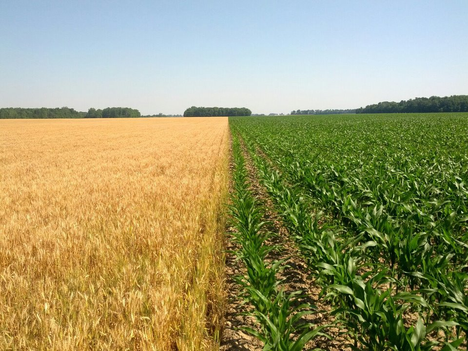 A photo from June 2012 of our wheat and corn in adjacent fields. The wheat